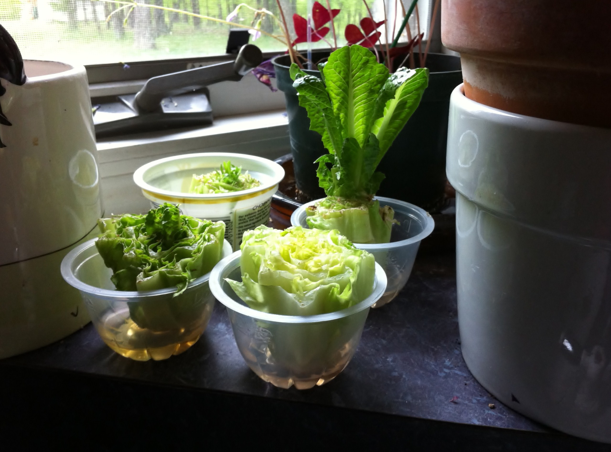 What I Did Was Save The Short Stalk End Of The Romaine Lettuce, Put It In  About A Half Inch Of Water, And Place It In A Sunny Window.