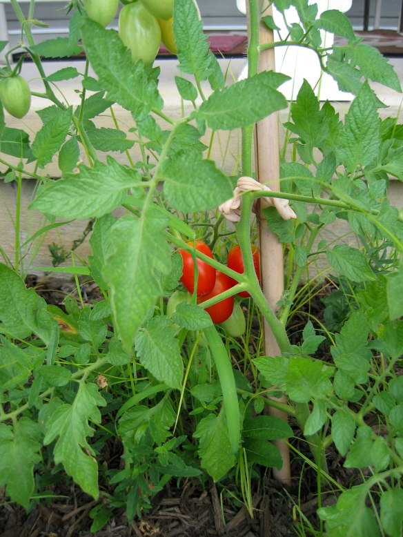 tomatoes-july-2013-004