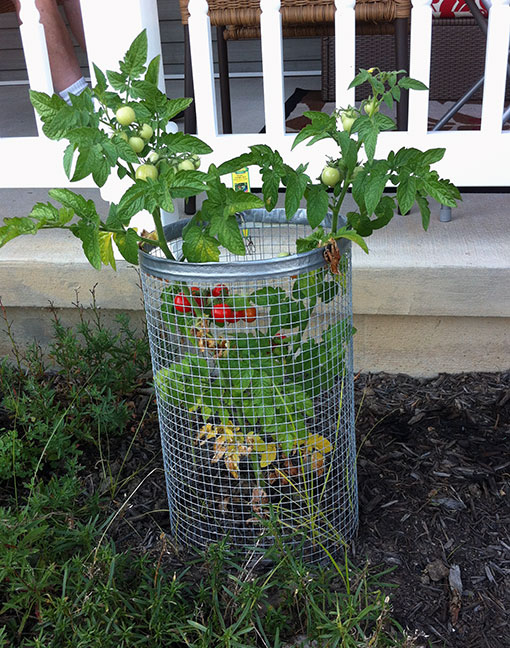 006-tomatoes