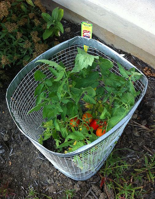 009-tomatoes