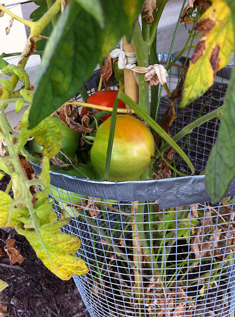 010-tomatoes