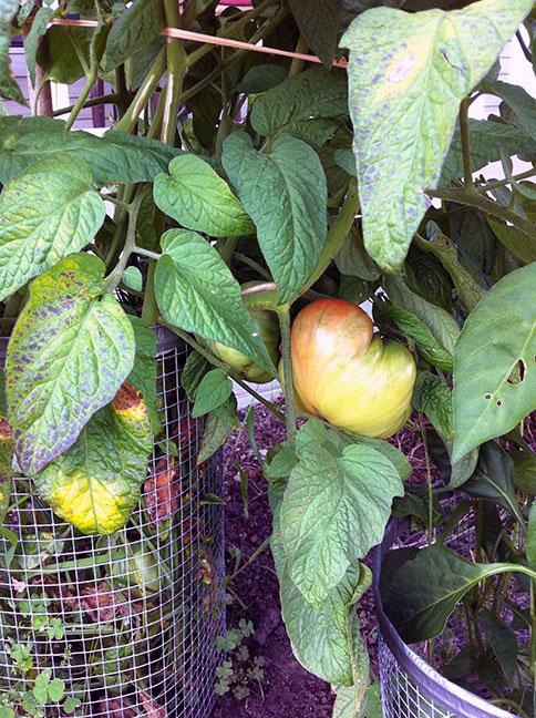 011-tomatoes