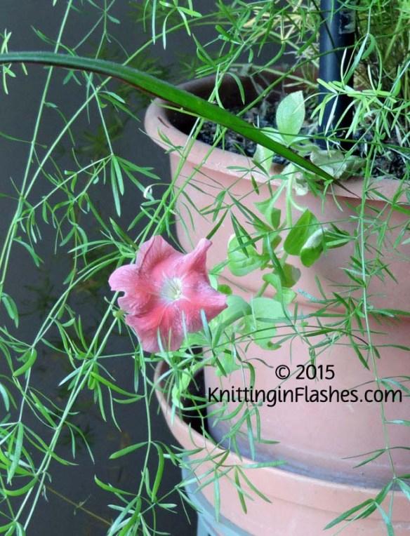 Petunia-002 copy
