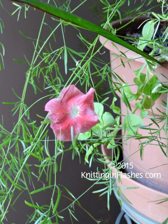 Petunia-003 copy