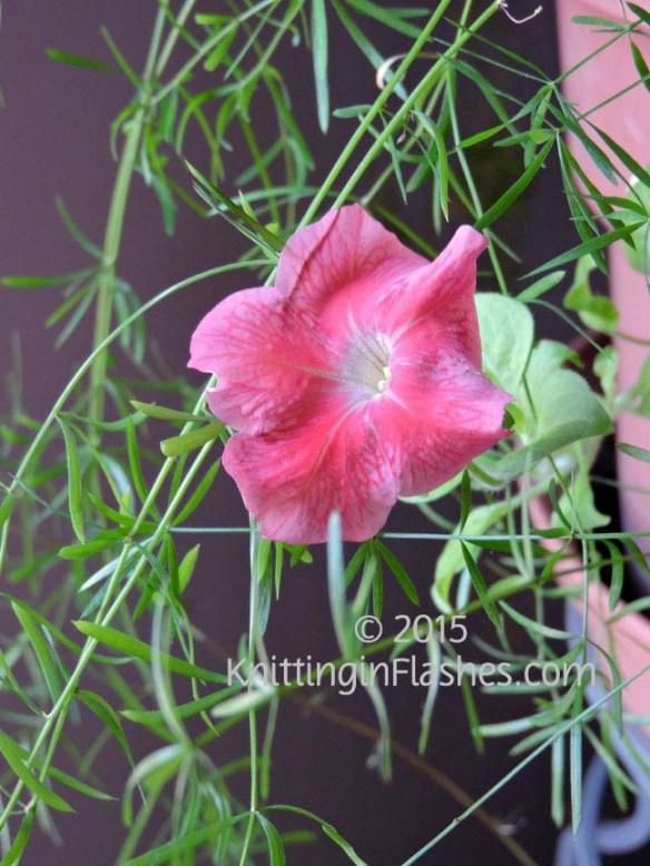 Petunia-004 copy