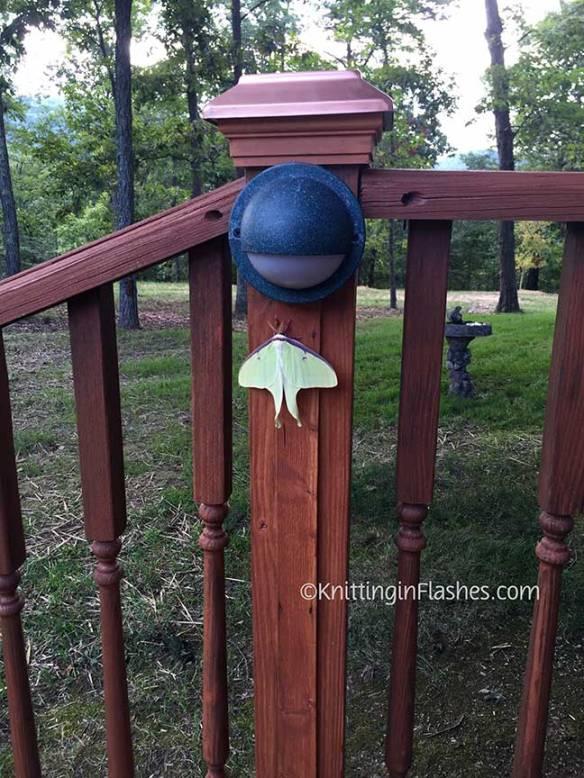 Luna-moth
