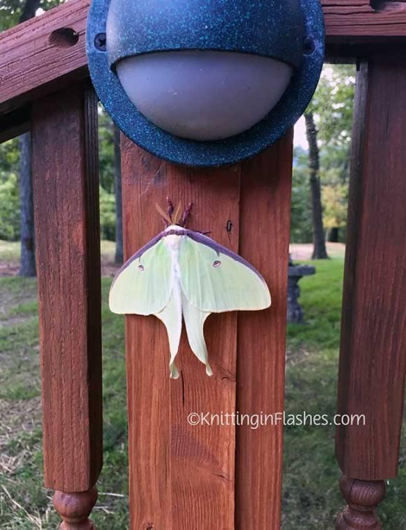 Luna-moth2